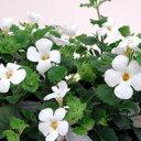 季節の花苗大輪バコパ■良品花壇苗■大輪バコパコピア スノー