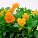 【ご予約商品♪ご予約区分D】■良品花壇苗■ワダフラワーのビオラオレンジ10.5cmポット苗