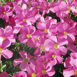 季節の花苗オキザリスオフシーズン■新鮮花壇苗■オキザリス 桃の輝き10.5cmポット