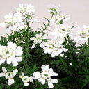 季節の花苗イベリス■新鮮花壇苗■宿根イベリス