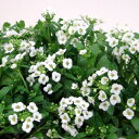 アリッサム■新鮮花壇苗■アリッサム10.5cmポット