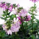 季節の花苗宿根ネメシア■新鮮花壇苗■宿根ネメシア アレンジピンク10.5cmポット苗