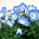■新鮮花壇苗■ネモフィラ ブルー10.5cmポット苗