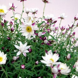 季節の花苗ペーパーカスケードオフシーズン■新鮮花壇苗■ペーパーカスケード9cmポット苗