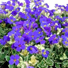 オーブリエチア■新鮮花壇苗■オーブリエチアバリエガータ ラピス9cmポット