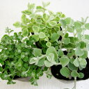 ヘリクリサム■新鮮花壇苗■ヘリクリサム ペティオラレ9cmポット