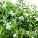 季節の花苗 アメリカンブルーオフシーズン■新鮮花壇苗■エボルブルスアメリカンホワイト
