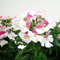 バーベナオフシーズン■新鮮花壇苗■バーベナ ピンクパフェ10.5cmポット