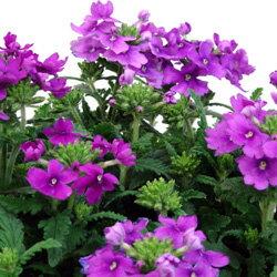 バーベナ■新鮮花壇苗■バーベナ パープル10.5cmポット