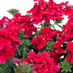 バーベナ■新鮮花壇苗■バーベナ レッド10.5cmポット