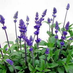 季節の花苗サルビアファリナセア■新鮮花壇苗■ブルーサルビア