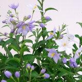 ■新鮮花壇苗■ツルハナナス パープル(ヤマホロシ)ポット苗