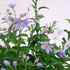 季節の花苗ツルハナナス■新鮮花壇苗■ツルハナナス(ヤマホロシ)3.5号ポット苗