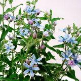 ■新鮮花壇苗■ブルースターオキシペタラム3〜3.5号ポット