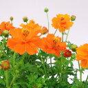 ■新鮮花壇苗■キバナコスモス オレンジ系10.5cmポット苗
