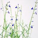季節の花苗サルビア■宿根草■コバルトセージ 青色 10.5cmポット