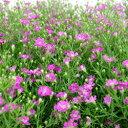 季節の花苗 かすみ草■新鮮花壇苗■カスミソウジプソフィラ10.5cmポット