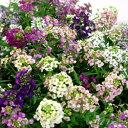 アリッサム■新鮮花壇苗■アリッサムパステルカーペット10.5cmポット