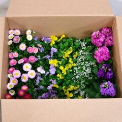 SALE! 季節の花苗 おまかせセットSALE! ■新鮮花壇苗■1苗あたり99円!かわいい花苗おまかせ2...