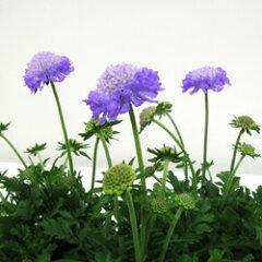 ふっくらとした豊かなお花がかわいい♪■新鮮花壇苗■スカビオサ10.5cmポット