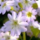 9b5d6954ea07 小さな桜のような白い繊細な花をたくさん咲かせます。□新鮮花壇苗□雲南桜草(ウンナンサクラ.