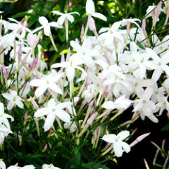 香りのよい白い花を株いっぱいに咲かせます!■新鮮花壇苗■ハゴロモジャスミン 10.5cmポット