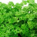 パセリ季節の花苗■新鮮花壇苗■パセリ10.5cmポット苗
