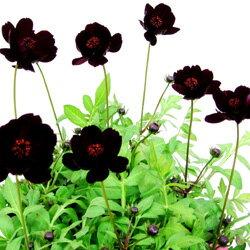季節の花苗チョコレートコスモス■新鮮花壇苗■チョコレートコスモス12cmポット