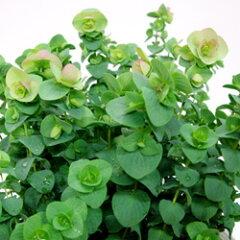 観賞用のオレガノ!■新鮮花壇苗■オレガノ ケントビューティー9cmポット