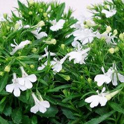 季節の花苗ロベリア■新鮮花壇苗■ロベリア ホワイト3.5号