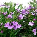 季節の花苗ロベリア■新鮮花壇苗■ロベリア ピンク3.5号