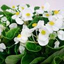 ベコニア■新鮮花壇苗■ベゴニア センパフローレンスホワイト10.5cmポット