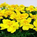 ■新鮮花壇苗■マリーゴールドイエロー10.5cmポット