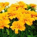 マリーゴールド季節の花苗■新鮮花壇苗■マリーゴールドオレンジ10.5cmポット