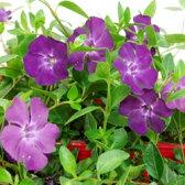 ■新鮮花壇苗■ヒメツルニチニチソウアトロプルプレア10.5cmポット3個セット
