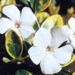ヒメツルニチニチソウホワイト