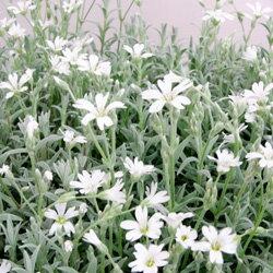 セラスティウム季節の花苗■宿根草■セラスチュームシルバーカーペット9cmポット