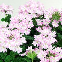 バーベナ■新鮮花壇苗■宿根バーベナキャンディストライプ9cmポット