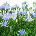 季節の花苗デージー■新鮮花壇苗■コンパクトブルーデージー青いうさぎ10.5cmポット