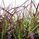 季節の花苗ファウンテングラス■新鮮花壇苗■パープルファウンテングラス10.5cmポット