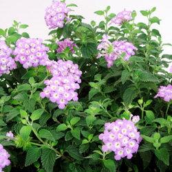 季節の花苗コバノランタナ■良品花壇苗■コバノ ランタナ ピンク