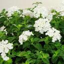季節の花苗コバノランタナ■良品花壇苗■コバノ ランタナ ホワイト10.5cmポット