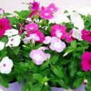 季節の花苗 ニチニチソウ■新鮮花壇苗■日々草おまかせミックス6個セット
