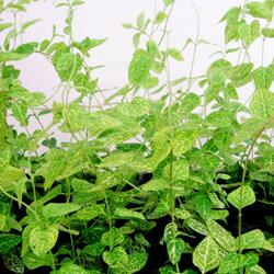 季節の花苗ハニーサックル■新鮮花壇苗■ゴールデンハニーサックル9cmポット