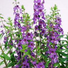 季節の花苗アンゲロニアオフシーズン■新鮮花壇苗■アンゲロニアセレナパープル10.5cmポット