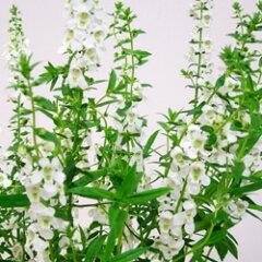 季節の花苗アンゲロニアオフシーズン■新鮮花壇苗■アンゲロニアセレナホワイト10.5cmポット