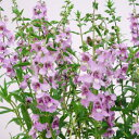 季節の花苗アンゲロニア■新鮮花壇苗■アンゲロニアセレナラベンダー10.5cmポット