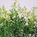 季節の花苗チェリーセージ■宿根草■チェリーセージサンゴールド10.5cmポット