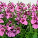 ディアスシアオフシーズン秋の花壇苗■新鮮花壇苗■ディアスシアピンクグローリー10.5cmポット