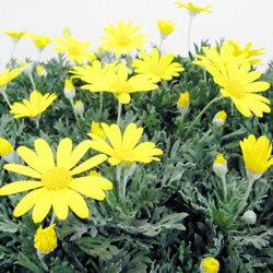 季節の花苗ユリオプス■新鮮花壇苗■ユリオプスデージー